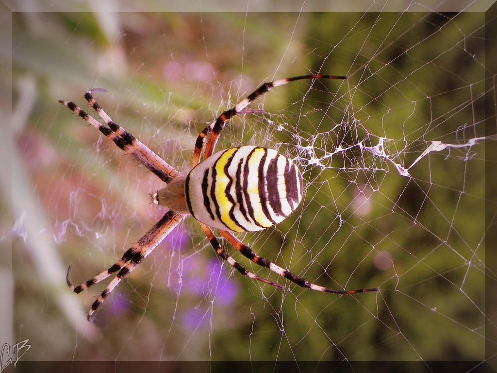 l'animal de Martin du 12 janvier trouvé par Martine Arachnide-28-08-2013-argiope-bruennichi-dessus-blog