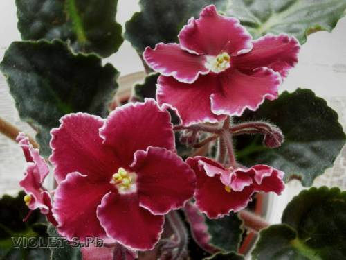 Разводите ли дома цветы и какие? 337093371