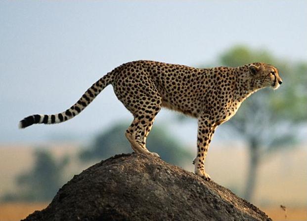 Chita VS Leopardo Das Neves  Guepardo