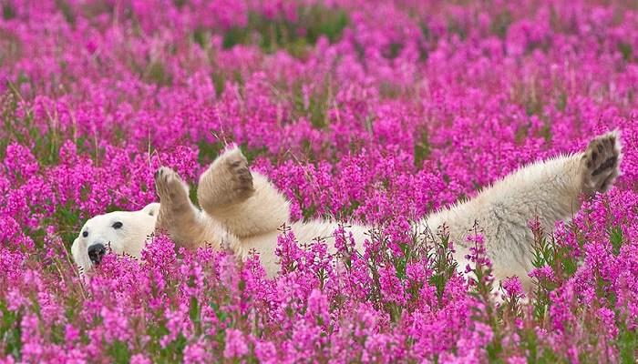 Jeudi 11 août Ours-polaires-champ-fleurs-1