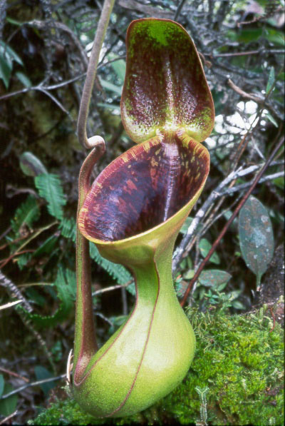 mes plantes carnivores nepenthes highland - Page 2 Nepenthes_lowii