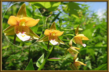 Hoa gieo tứ tuyệt 3 - Page 15 Cypripedium-thunbergii
