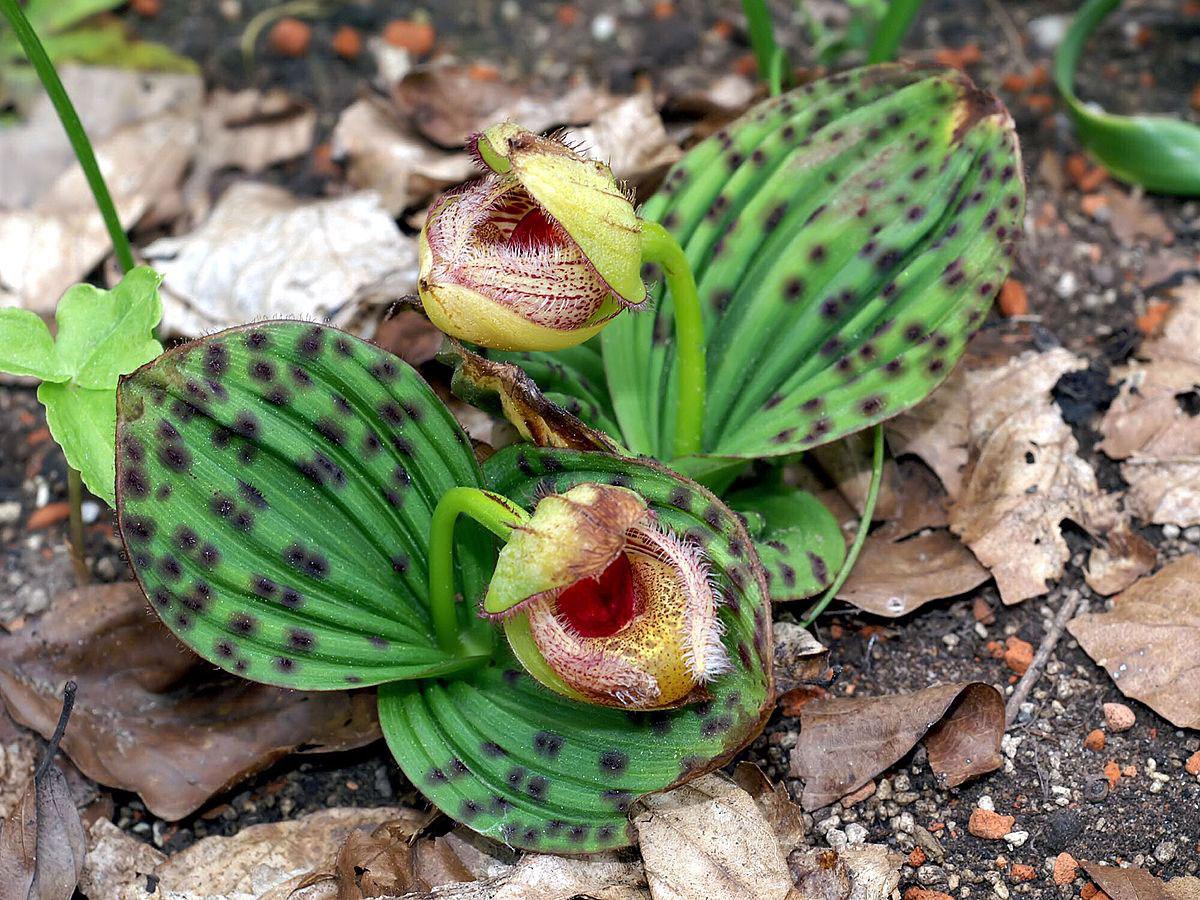 Hoa gieo tứ tuyệt 3 - Page 12 Cypripedium_fargesii_Orchi