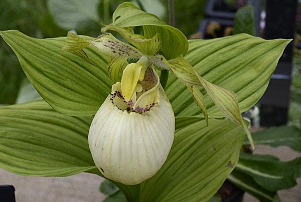 Hoa gieo tứ tuyệt 3 - Page 12 Cypripedium_fasciolatum