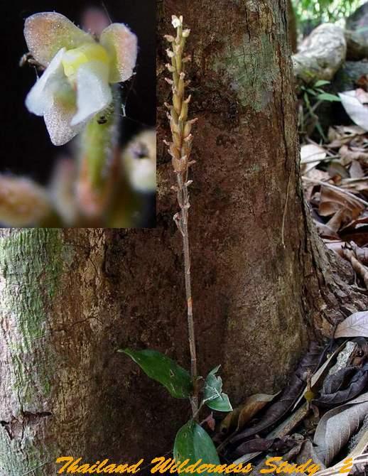 Hoa gieo tứ tuyệt 3 - Page 3 Hetaeria-alta-Ridl