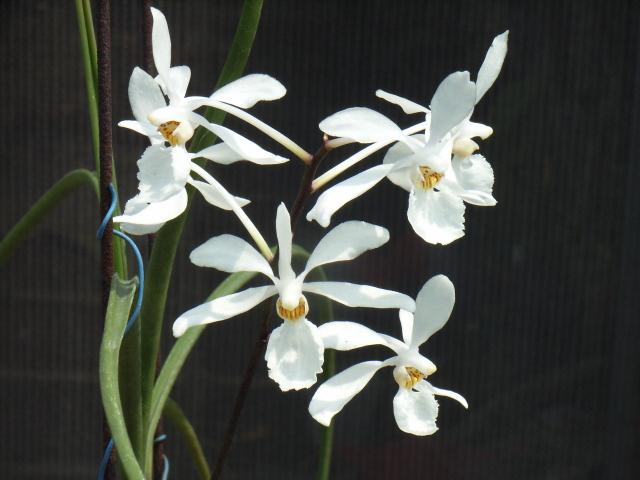 HOA GIEO TỨ TUYỆT - Page 47 Holcoglossum-subulifolium