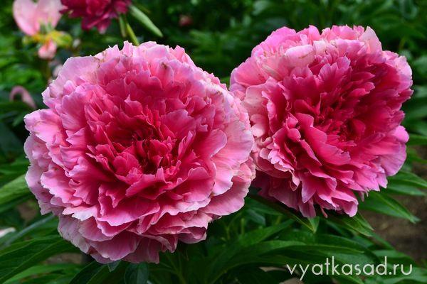 Продам растения - Страница 26 Rose-Heart