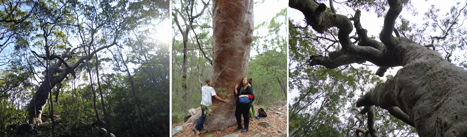 Hieroglyphics Experts Declare Ancient Egyptian Carvings in Australia to be AUTHENTIC The-Grandmother-Tree