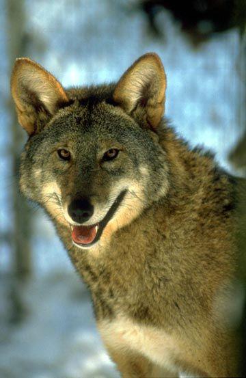الموسوعة الكاملة للكلبيات Redwolf-lg