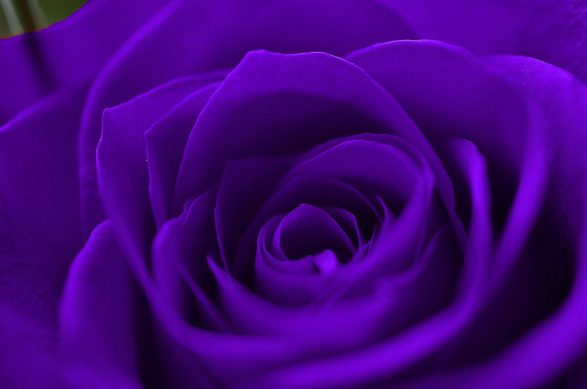 خلفيات ملونه فلاشيه Purple-Rose-Wallpapers