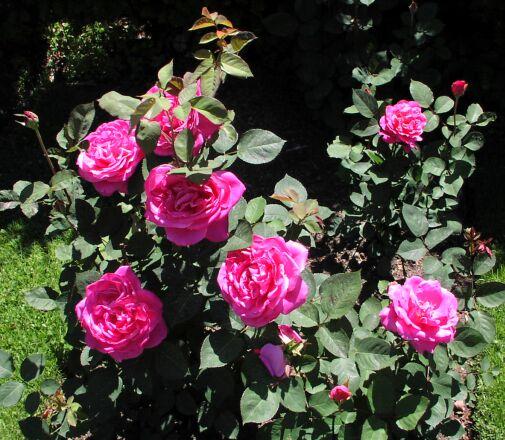 Ruža P1010242a