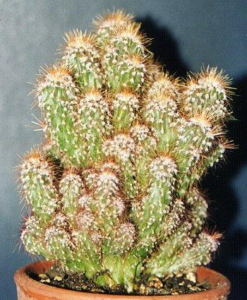 VƯỜN CÂY ĐV II - Page 5 Cereus_peruvianus_monstruosus2