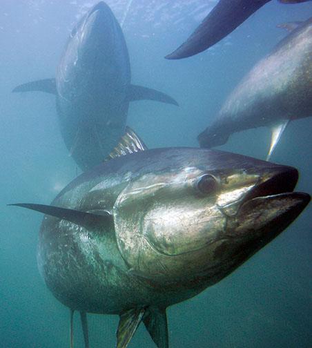 Atún recomendación de equipos SHIMANO Bluefin-tuna_chris-park