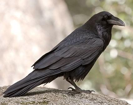 Postavi sliku i zatrazi sledecu - Page 20 Crow-01