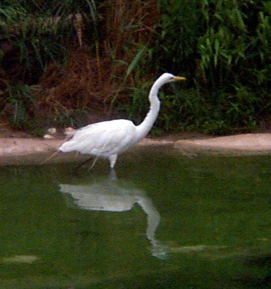 البط ، والطيور المائية والطيور الساحلية  Heron063002_22