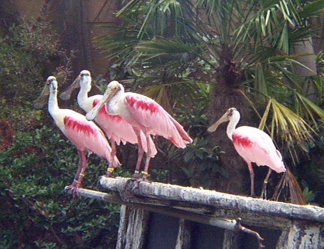 البط ، والطيور المائية والطيور الساحلية  Spoonbills25jn01fwzb03