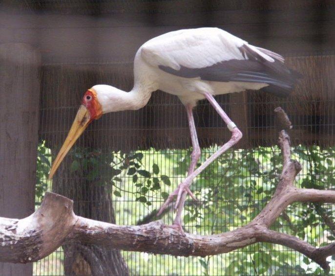 البط ، والطيور المائية والطيور الساحلية  YBStork080902_468