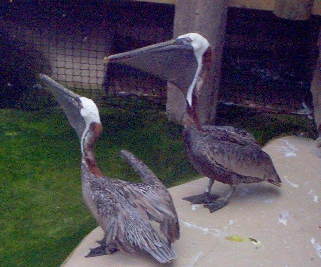 البط ، والطيور المائية والطيور الساحلية  BrownPelican062101fwz13