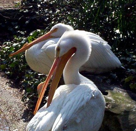 البط ، والطيور المائية والطيور الساحلية  Pelican2