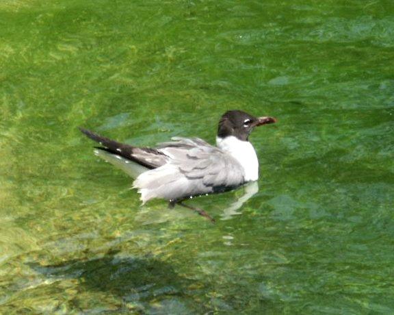 البط ، والطيور المائية والطيور الساحلية  LaughGull080402_265