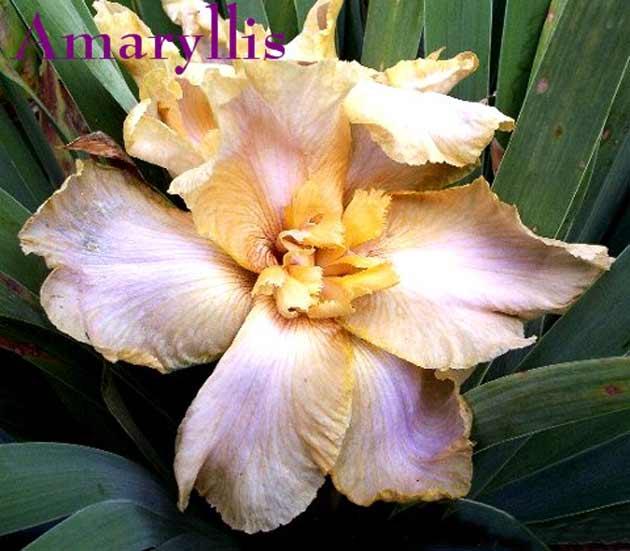 identification d'un iris flatty Amaryllis-web