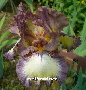 Les Iris plicata - une longue histoire et un bel exemple d'évolution Roundup_fl