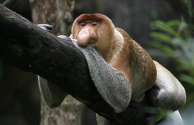 The MOJÖ FUN Proboscis monkey: A walkaround by Kikimalou Proboscis-monkey