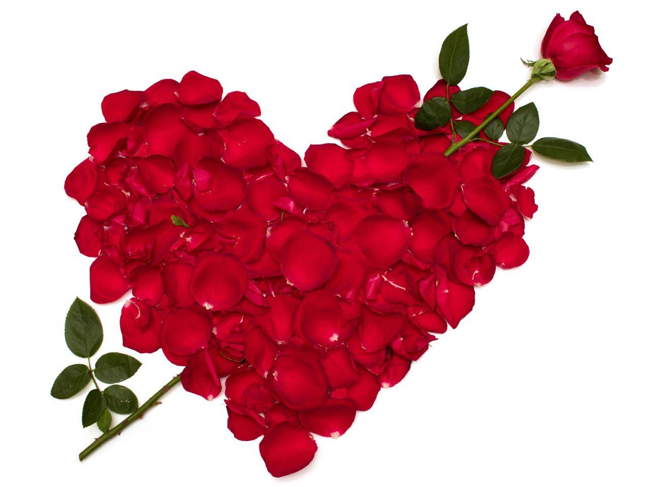 love rose flower Rose-flower-8
