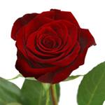 Siera Spels Ecuadorian_red_rose_black_magic_150