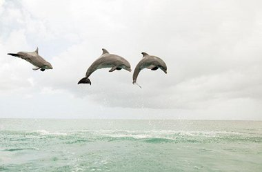 Dolphins call each other by Name Imagesizer