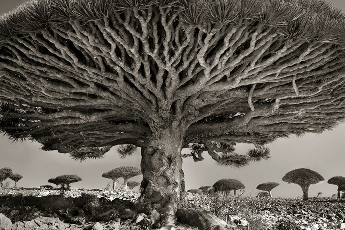Woman Spends 14 Years Photographing World's Oldest Trees Ancient-trees-beth-moon-8-e1420822833661