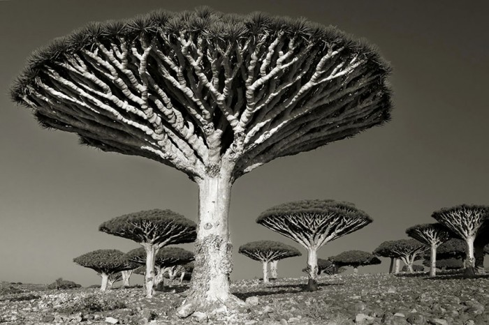 Woman Spends 14 Years Photographing World's Oldest Trees Ancient-trees-beth-moon-9-e1420823271868