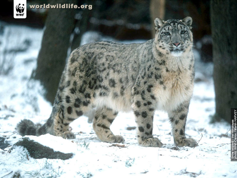Snježni leopardi 15216