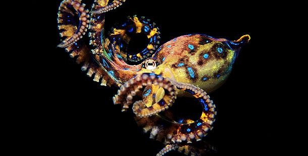 Podvodni cudesni svet - Page 2 610_ag_blue-ringed-octopus