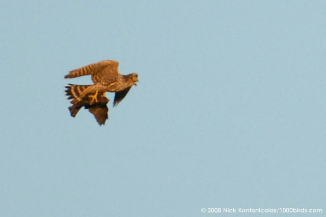 Falconiformes. sub Falconidae - sub fam Falconinae - gênero Falco Merlin67194