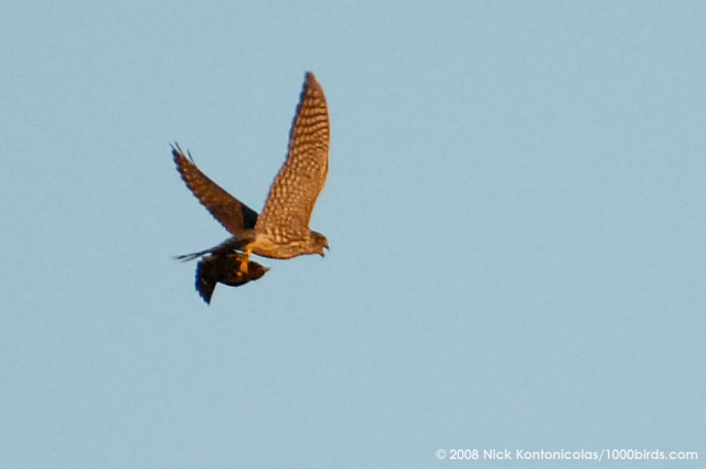 Falconiformes. sub Falconidae - sub fam Falconinae - gênero Falco Merlin67198
