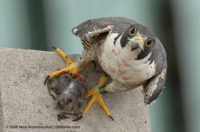 Falconiformes. sub Falconidae - sub fam Falconinae - gênero Falco - Página 2 Peregrine-Falcon62827