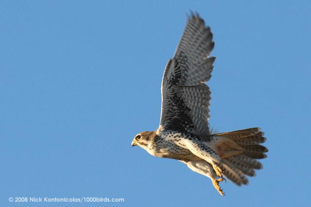 Falconiformes. sub Falconidae - sub fam Falconinae - gênero Falco - Página 2 Prairie-Falcon69118