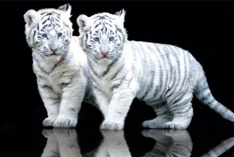 Tigrovi White-tiger-cubs