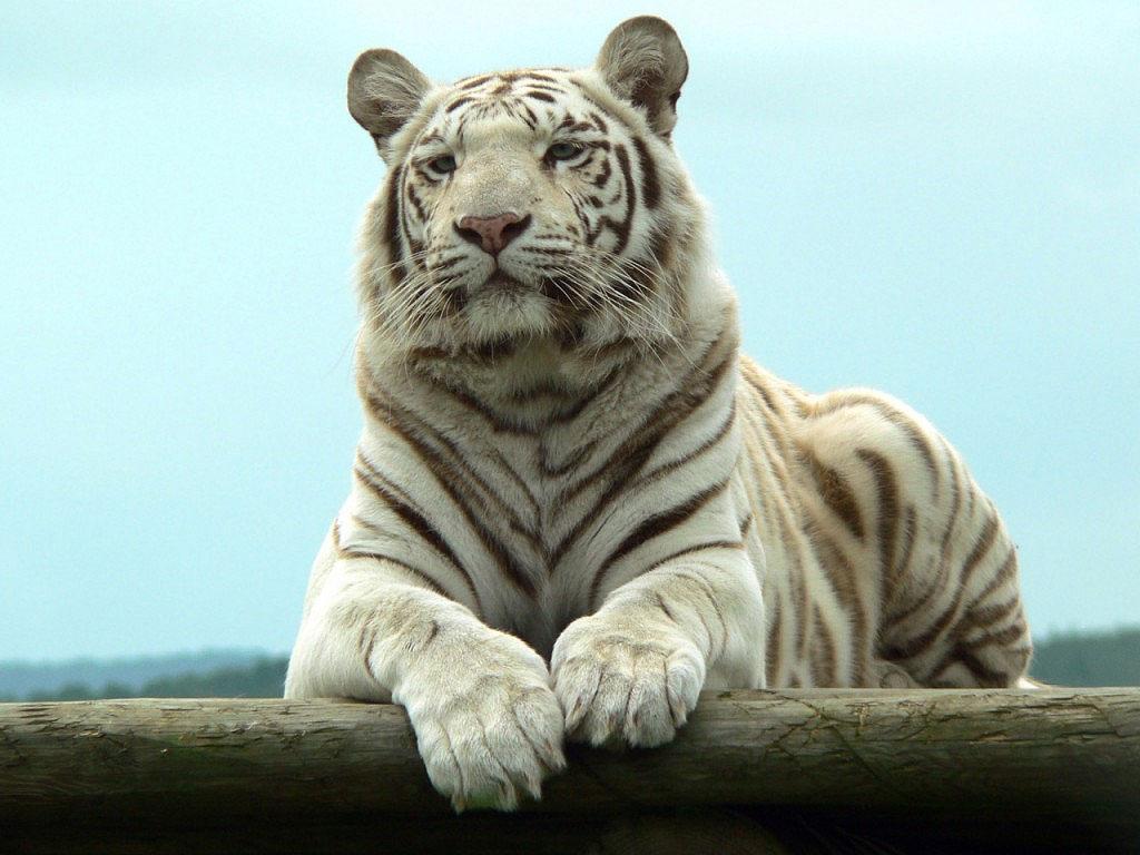 Lo bello de lo salvaje - Página 2 Tigre-blanco1024-09
