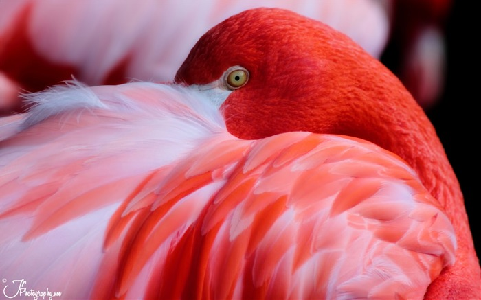 Mnémosyne en musique - Page 3 Red_flamingo-HD_Desktop_Wallpaper_medium