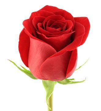 2.Yalancı Bahar  -  Cansel Elçin ve Fahriye Evcen  Trandafir-rosu-422