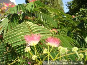 TỨ TUYỆT HOA  Albizia-fleurs
