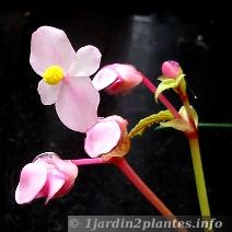 Begonia rustique dans nos régions..... Begonia-grandis