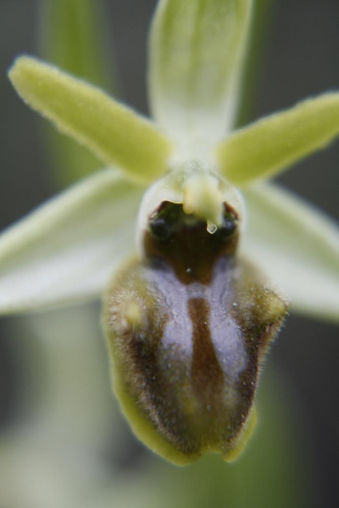 Orchideen der Insel Cres (Kroatien) 5527304_5ffe3e8ce3b23d42dfd46be30f70282b_large1k
