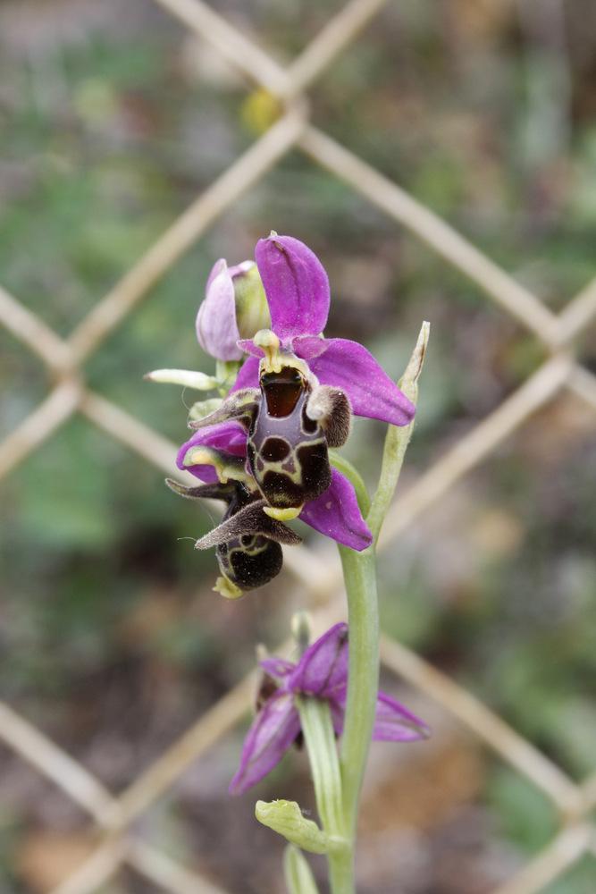 Orchideen der Insel Cres (Kroatien) 5683913_c1868f5377103f16b1c07f827b33600f_large1k