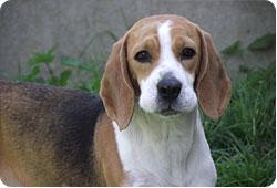 Une petite chienne battue à coup de barre de fer - Ignoble Beagle-actu