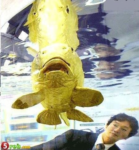سمكة وكانها خلقت من الذهب F18