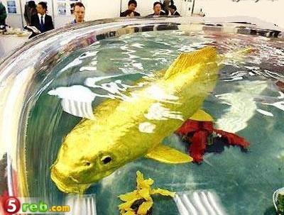 سمكة وكانها خلقت من الذهب F19