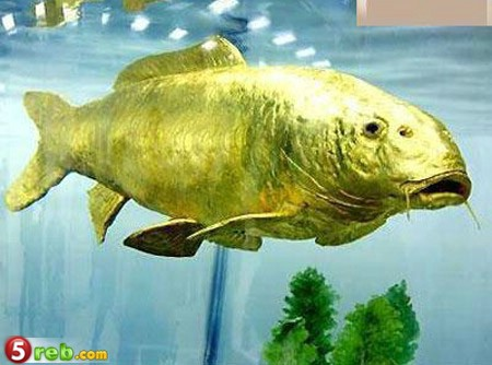 سمكة وكانها خلقت من الذهب F20